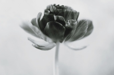 beautiful, beauty, black and white, flower