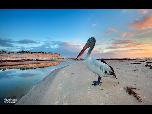 nature, pelican, photo, photography
