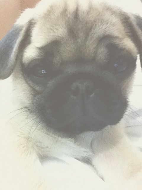 alternative, beautiful, big eyes, cry, cute, cute face, dog, doggy, fluffy, hug, little, lovely, pancho, pug, puggy, puppy