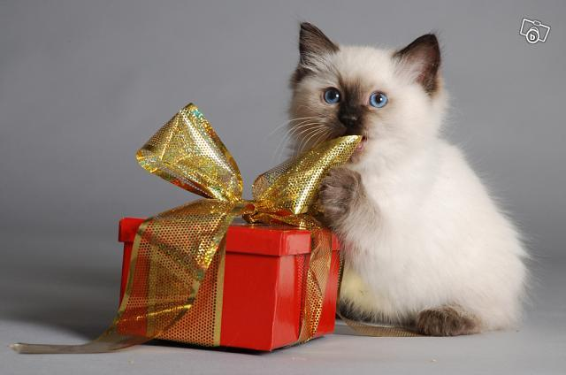awww, blue eyes, cat, gift, kitten