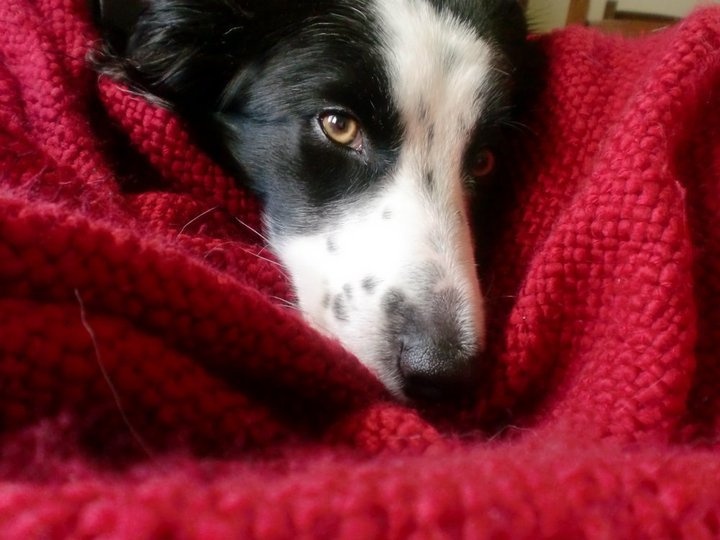 beautiful, black, blanket, border collie, cute
