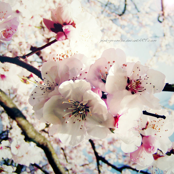 blossoms, cherry, deviantart, flowers, nature
