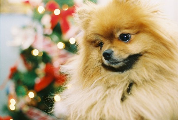 christmas, cute, dog, pomeranian