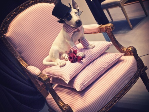 dog, fashion, funny, lanvin, paris, pink, puppy, stripes
