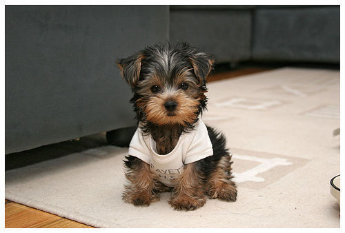 !!!!!!!, adorable, dog, puppy, yorkie