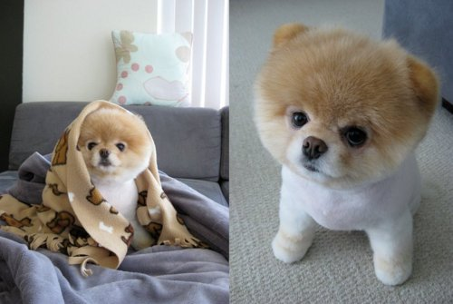 Adorable boo cute dog pet pomeranian puppy
