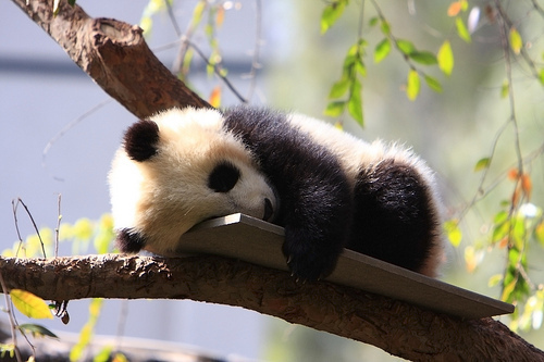 animal, cute, gsayour, lazy, panda