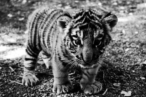 b&w, baby, black and white, cute, stripes, sweet, tiger, young
