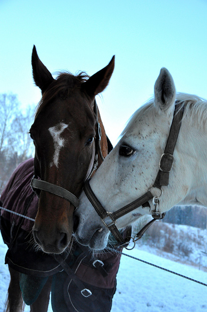 beautiful red horse <3, cold, couple, horse, horses