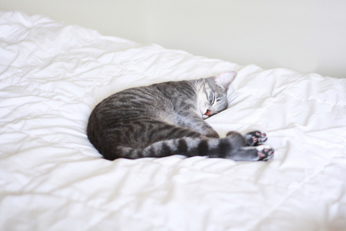 beauty, bed, cat, cute, grey