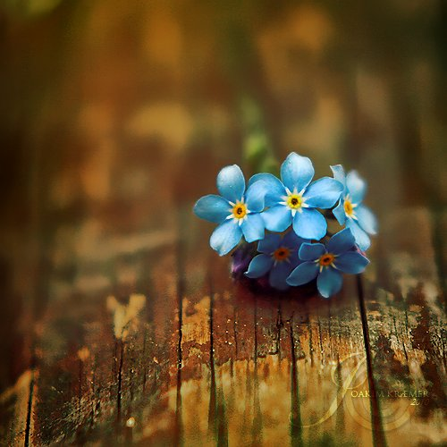 blue, flower, forget-me-not and love
