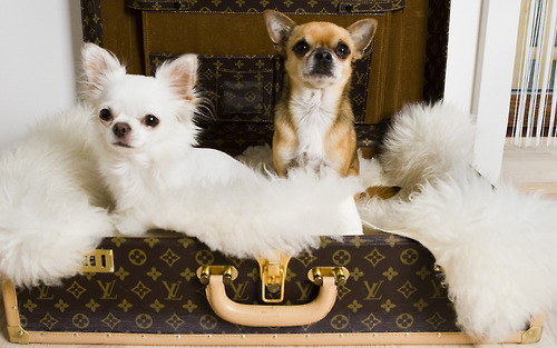chihuahua, cute, dogs, louis vuitton, puppy