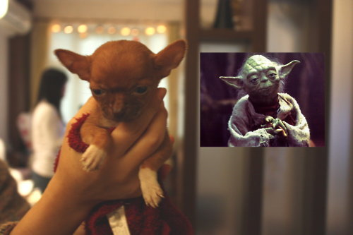 chihuahua, dog, star wars, yoda