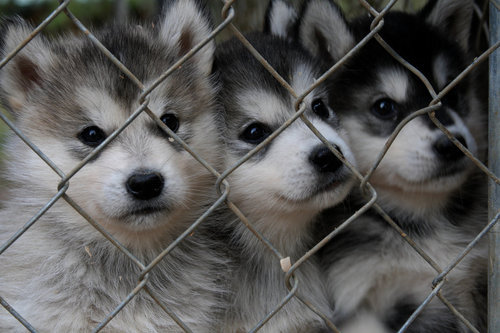 animals, cage, cute, dogs