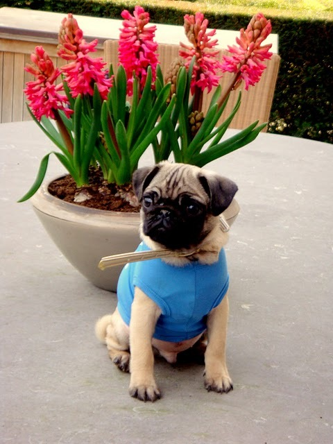 baby, blue, flowers, mops, pink, pug, puppy, t-shirt, table