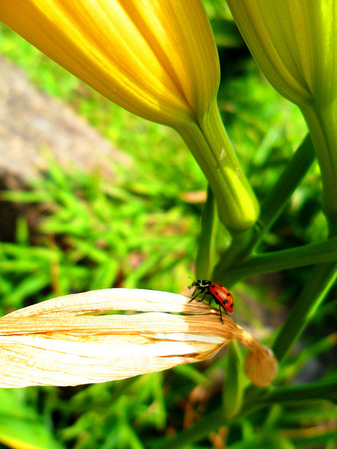 beautiful, beetle, carocha, cute, flower