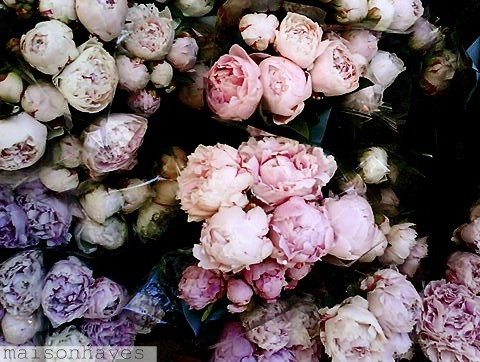 beautiful, flowers, peonies, photography, pink