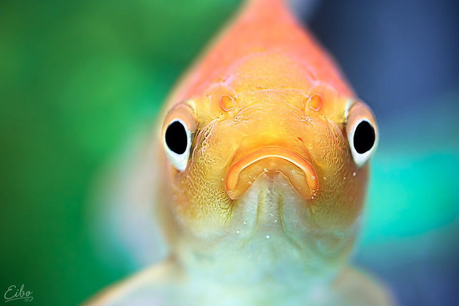 blur, deviantart, eibo-jeddah, fish, goldfish