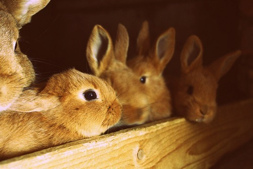 bunnies, pets, photography, rabbits