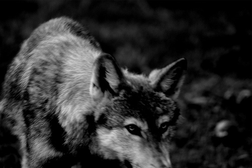 animal, art, black and white, nature, photo, photography, wolf