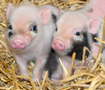animal, blue eye, cute, pig, piggies, piggys, piglets, pigs, pink and black, pink pig, spots