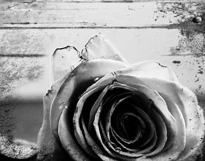 b&w, black and white, flower, photography, rose