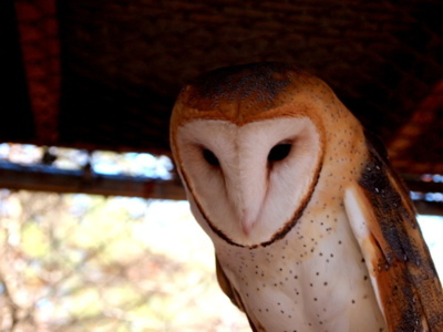 barn, barn owl, bird, cage, cute, owl, pretty, spots