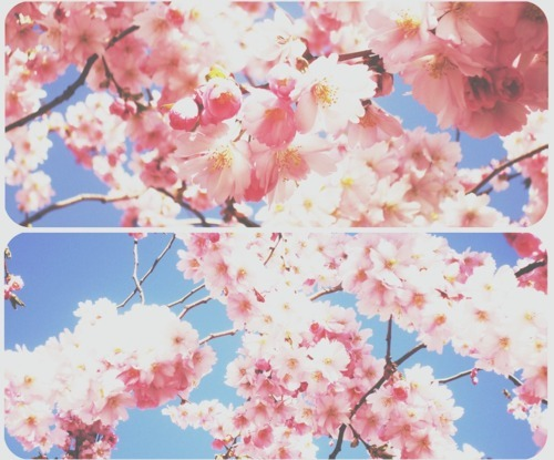 cherry blossoms, floral, flowers, photography, pink, pretty, sky