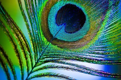 colors, feather, peacock