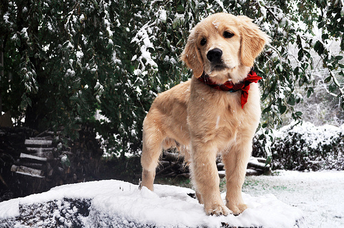 baby, christmas, christmas dog, cute, dog, snow, sweet, sweet dog, time, winter, christmas style, december dog, golden dog