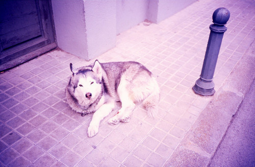 animal, beautiful, dog, husky, photography, vintage, wolf