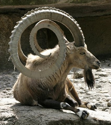 animal, goat, horns, huge
