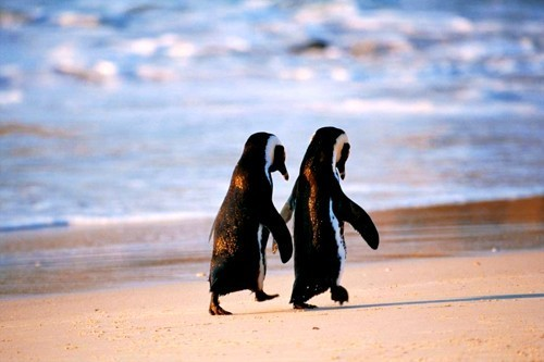 beach, black, fish, mammals, penguin, sand, two penguins, water, white
