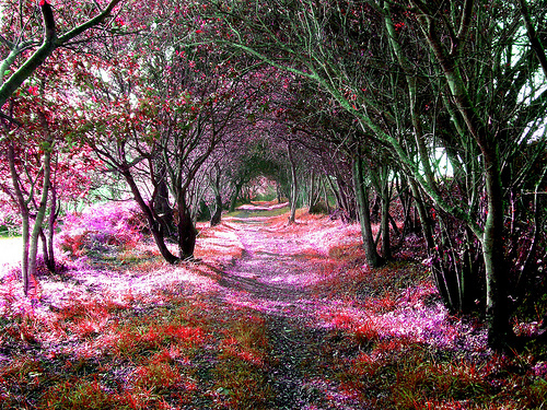 beautiful, path, pink, trail, tree-lined
