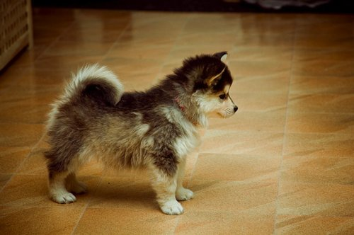 cute, cutest, dog, fury, husky, puppy