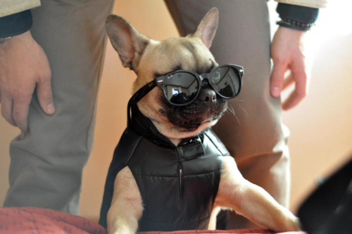 cute, dog, fashion, french bulldog, puppy