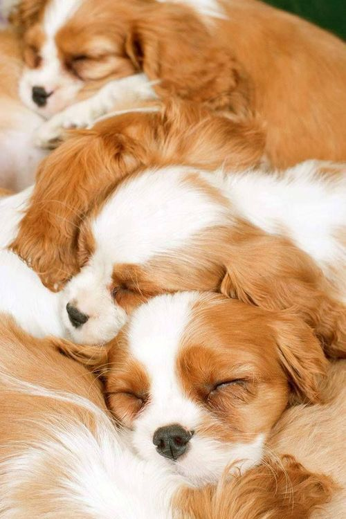 Cavalier King Charles Spaniel Puppies Google Search