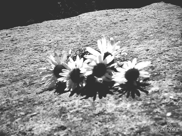 bw, chamomile and flower