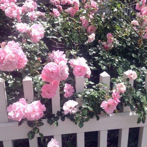beautiful, boho, dream, fence, flowers, garden, indie, nature, pale, pastel, photography, pink, pretty, roses, soft grunge, summer, sun, white