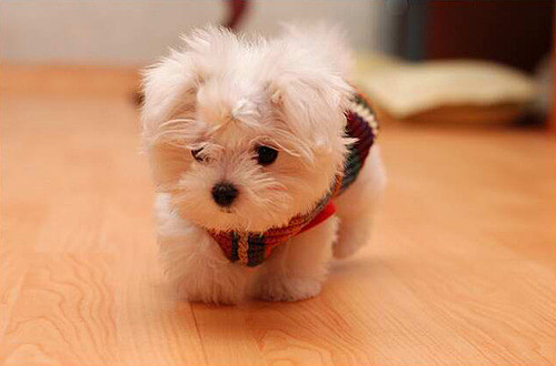 adorable, cute, fluffy, puppie