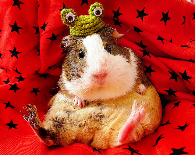 animals, cute, frogs, ginea pig, hamster