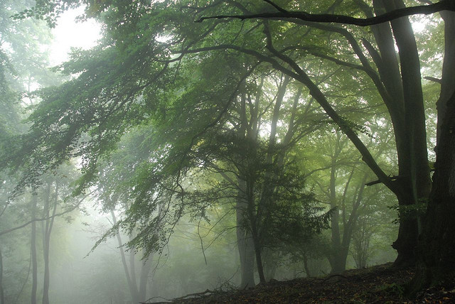 beauty, fog, forest, green, growth