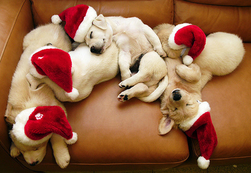 christmas, cute, dogs, santa, sofa