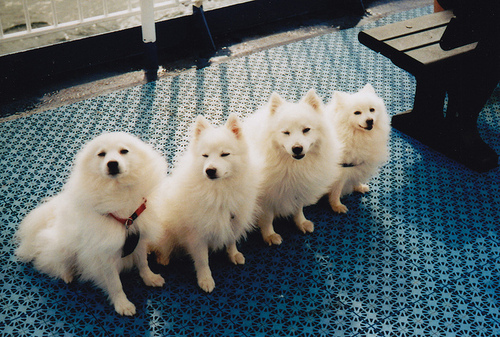 cute, dogs, spitz, volpino, white dogs