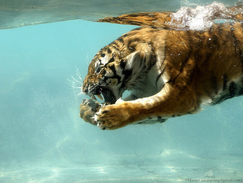 lion, tiger, tigre, water