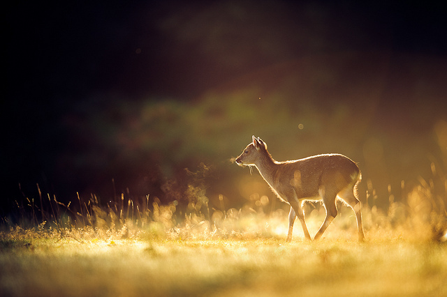 animal, animals, bokeh, color, deer