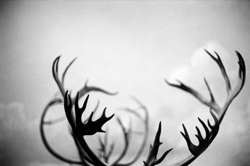 antlers, black and white, deer, horns