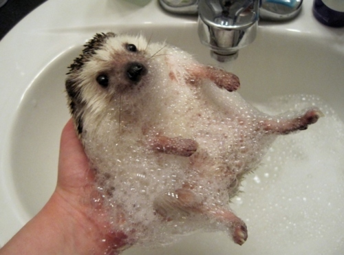 animal, animals, bubbles, cute, hedgehog