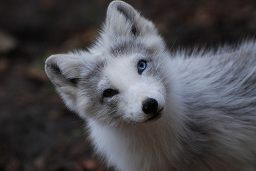 Cute white wolf pup with blue eyes - photo#10