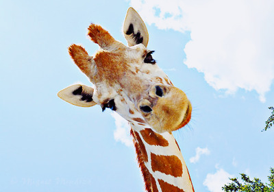 animal, cute, girafe